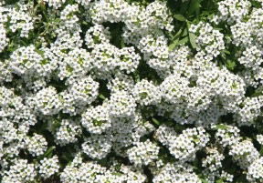 How To Grow Alyssum Flowers