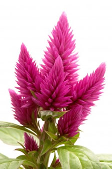 Celosia Flowers