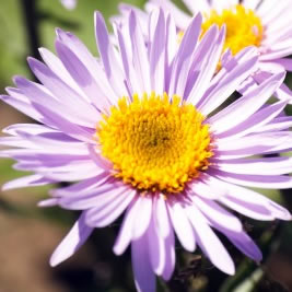 How To Grow Daisies
