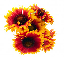 Growing Gaillardia Flowers