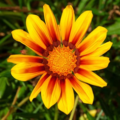 Growing Gazania Flowers