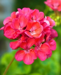 Growing Geranium Flowers