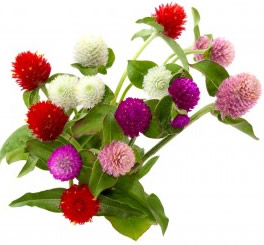Growing Gomphrena Flowers