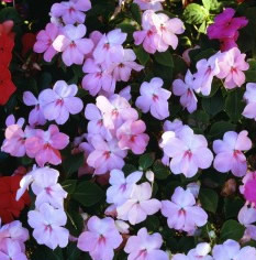 Growing Impatiens Flowers