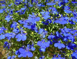 Growing Lobelia Flowers