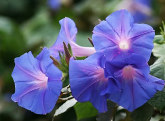 The Beautiful Morning Glory Flower