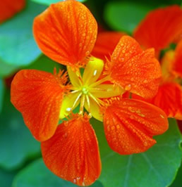 Growing Nasturtium Flowers