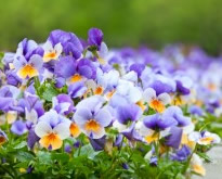 The pansy flower - growing pansies