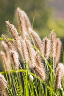 Growing Pennisetum