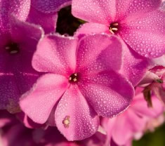 Growing Phlox Flowers