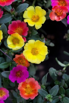 Growing Portulaca Flowers