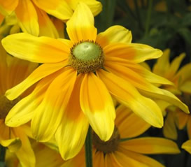 Growing Rudbeckia Flower (Black Eyed Susan)