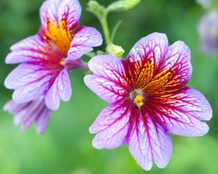 Growing Salpiglossis Flowers