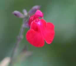Growing Salvia Flowers