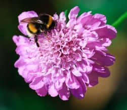 Growing Scabiosa Flowers