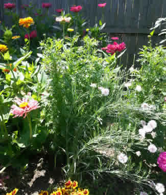 Strawflowers in Mixed Flowerbed