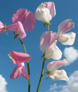 Growing Sweet Peas - The Sweet Pea Flower