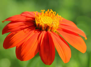 Growing Tithonia - The Mexican Sunflower