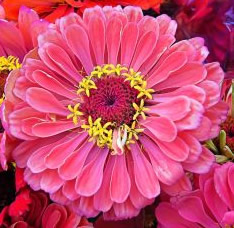 Growing Zinnias - The Zinnia Flower