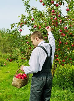 Picking apples on a U-Pick agri-tourism farm.