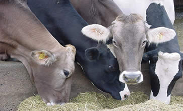 Cows at feeding station - Confined animal feeding operations (CAFOs)