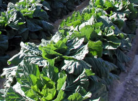 Growing collards