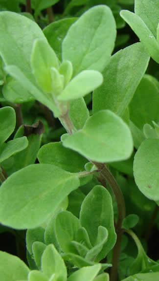 Growing Marjoram