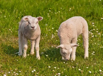 Market Lambs: Profitable Farming At Its Best