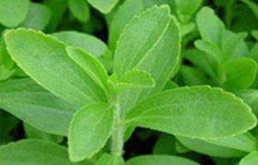 Growing Stevia