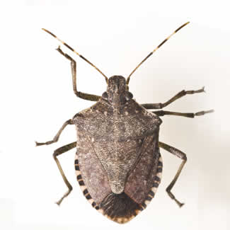 Stinkbugs In New Jersey