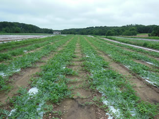 Using Plastic Mulch in Commercial Vegetable Production